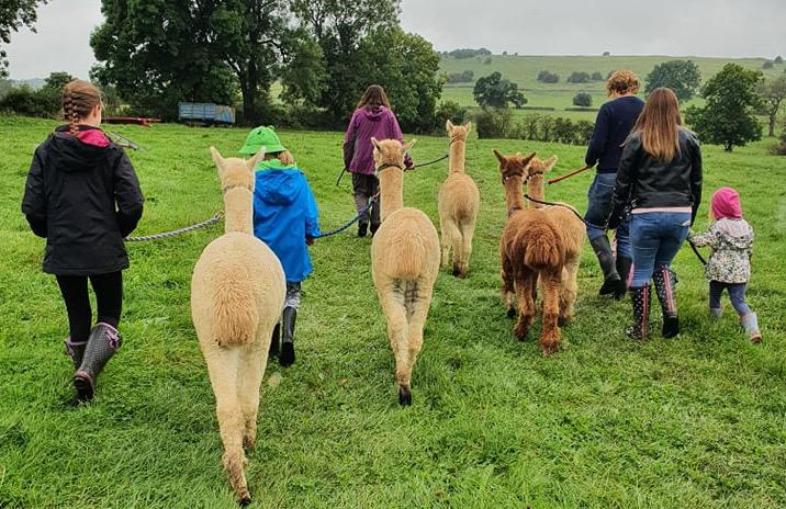 Alpaca walks - meet our alpacas